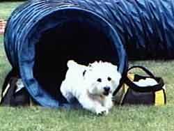 Maggie Mae Beason CGC, TDI, CD, RN, NAJ,  NA, NJP, NFP,  ME, CG,  WHWTCA Versatile Dog